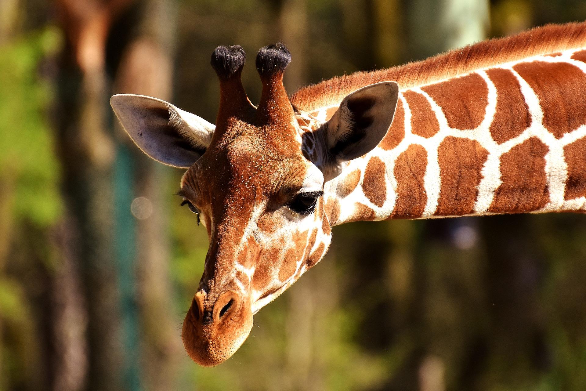20371-giraffe-2222908-1920.jpg