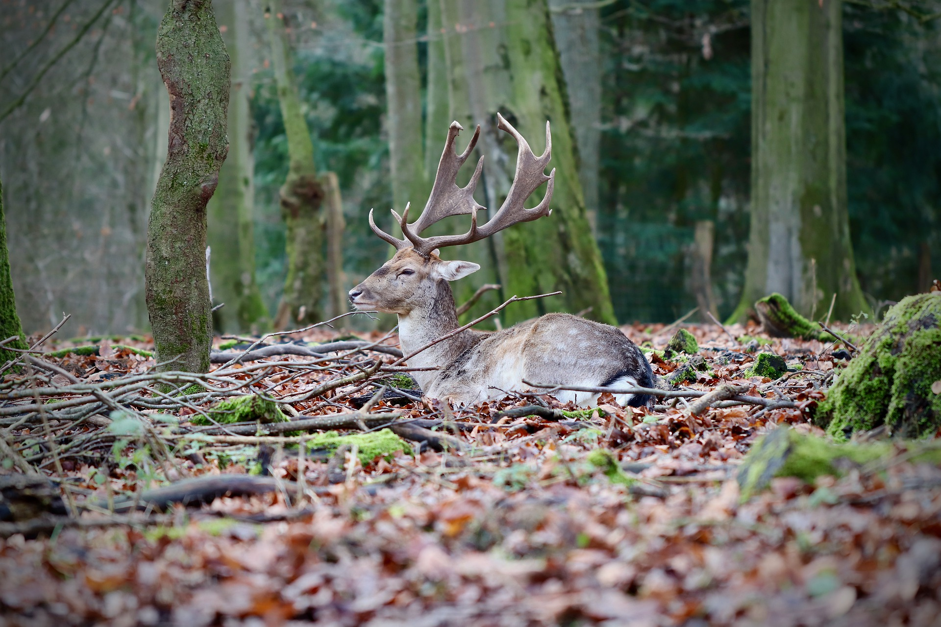 7615-fallow-deer-4735584-1920.jpg